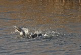 IMG_5671 Comorant bathing in fishing pond 3rd Dec 2017 - Copy