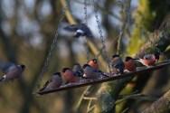 IMG_5885 Ten Bullfinch at feeder - Copy