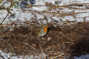 IMG_5947 Robin in the snow - Copy