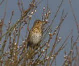 IMG_5954 Singing Songthrush - Copy