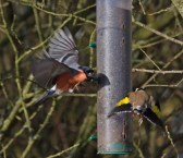 IMG_6039Goldfinch chased off niger by Bullfinch - Copy