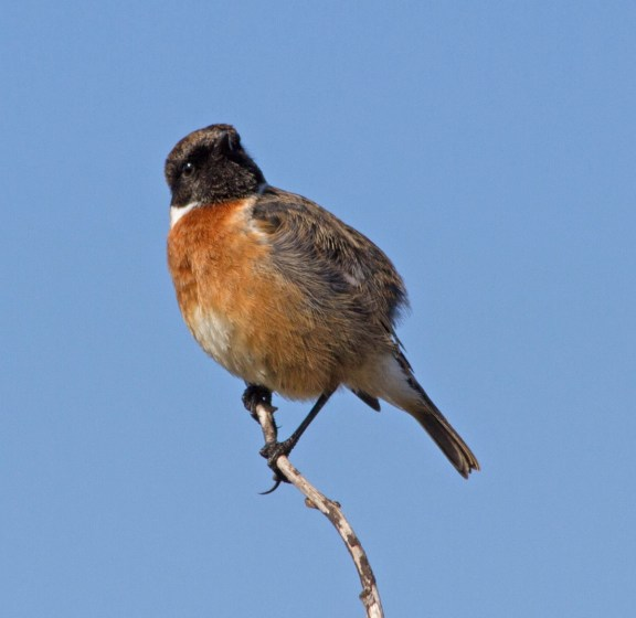 IMG_6084 Male Stonechat - Copy