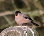 IMG_6104 Female Bullfinch with fungus foot - Copy