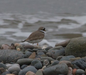 IMG_6117 Ringed Plover - Copy
