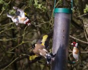 IMG_6138 Squabbling Goldfinch - Copy