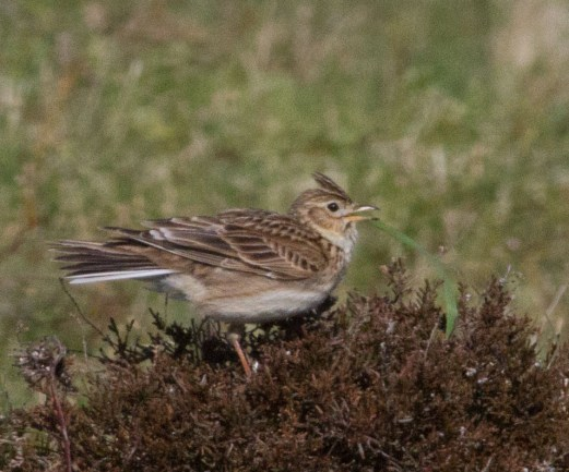 IMG_6148 Singing Skylark - Copy