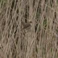 IMG_6234 Reed Warbler on fishing pond