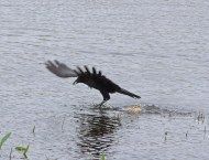 IMG_6238 Carrion Crow picking up food - Copy