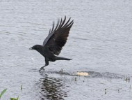 IMG_6239 Carrion Crow picking up food - Copy