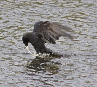 IMG_6242 Carrion Crow picking up food - Copy