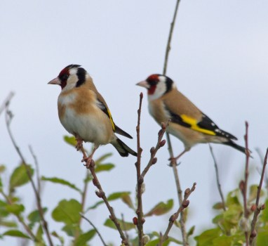 IMG_6248 Pair of Goldfinch - Copy
