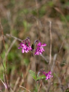 IMG_6260 Red Campion - Copy