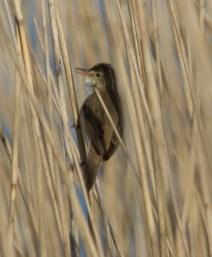 IMG_6302 Reed Warbler - Copy