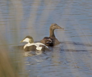 IMG_6309 Pair of Eider Duck - Copy