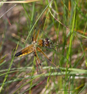 IMG_6319 Four-spotted Chaser - Copy