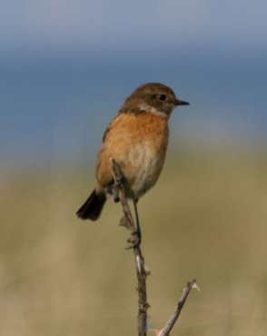 IMG_6333 Female Stonechat - Copy