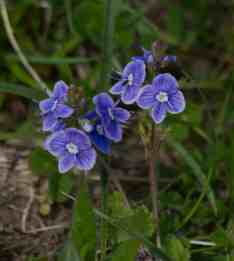 IMG_6337 Germander Speedwell - Copy