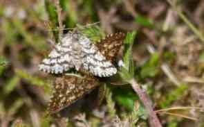 IMG_6361 Mating pair of Latticed Heath moths - Copy