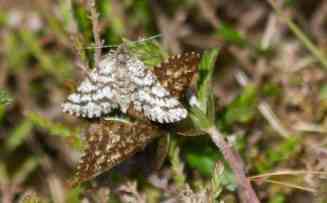 IMG_6361 Mating pair of Latticed Heath moths - Copy