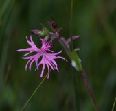 IMG_6396 Ragged-robin - Copy