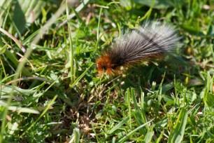 IMG_6446Garden Tiger moth caterpillar - Copy