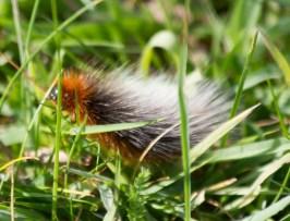 IMG_6448 Garden Tiger moth caterpillar - Copy