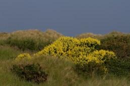 IMG_6568 Yellow Bush Lupin - Copy