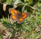 IMG_7160 Gatekeeper - Copy