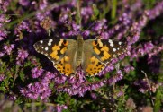 IMG_7563 Painted Lady on Heather - Copy
