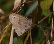IMG_7569 Meadow Brown on Bramble - Copy