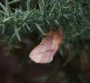 IMG_7607 Drinker Moth on Gorse - Copy