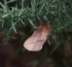 IMG_7607 Drinker Moth on Gorse - Copy