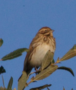 IMG_7848 Young Reed Bunting