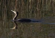 IMG_7932 Cormorant on fishing pond - Copy