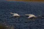 img_8099 battling swans - copy