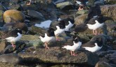 IMG_8202Resting Oystercatchers - Copy