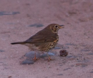 IMG_8232Thrush with snail - Copy