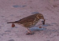 IMG_8244 Thrush with snail - Copy