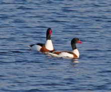 IMG_8391Pair of Shelduck on long pond 12thApril 2019 - Copy