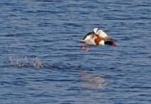 IMG_8394 Shelduck lifting off long pond 12th April 2019 - Copy