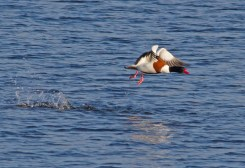 IMG_8394 Shelduck lifting off long pond 12th April 2019 - Copy