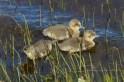 IMG_8653 Three Greylag gosling - Copy
