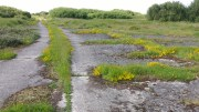 Dyer's Greenweed on main path (1) - Copy
