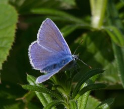 IMG_8695Common Blue butterfly - Copy