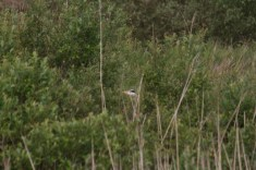 IMG_8718 Hiding Heron - Copy