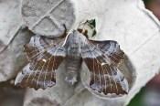 IMG_8725 Moth hunt N End 6-7th June 2019 Trap 2 Poplar Hawkmoth - Copy