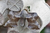 IMG_8725 Moth hunt N End 6-7th June 2019 Trap 2 Poplar Hawkmoth - Copy