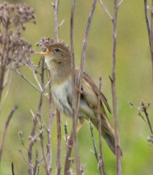 IMG_8728 Grasshopper Warbler on top of tip 7th June 2019 - Copy