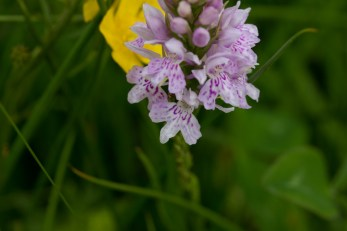 IMG_8743 Common Spotted Orchid in first field