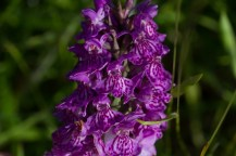 IMG_8783 Northern Marsh orchid in first field